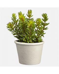 "Stonecrop Sedum Green Plant - 7"""