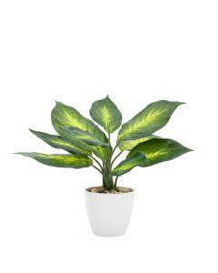 """Dieffenbachia Plant 11"""""""