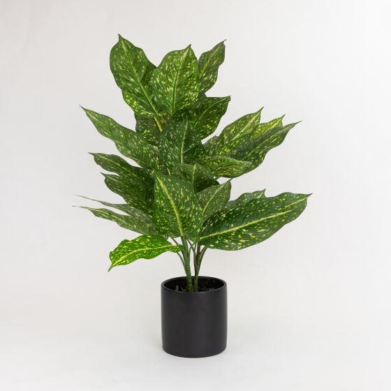 Aucuba Plant in Pot