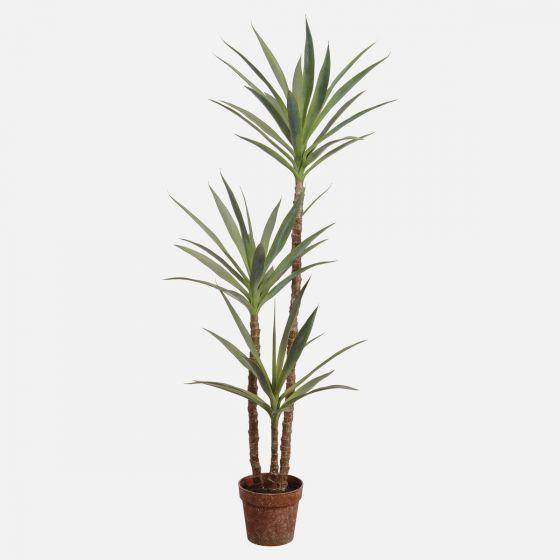Arbre yucca en pot